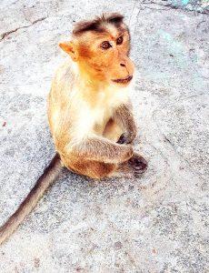 Un singe d'Hampi. (Karnataka)